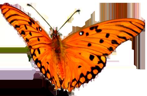 clip art orange butterfly