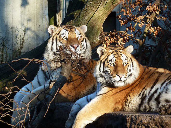 two tigers resting on cliff