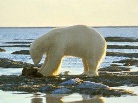 polar bears eating