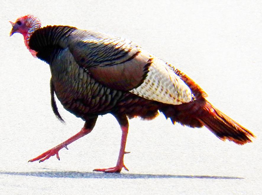 turkey pictures walking turkey bird
