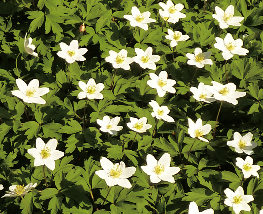 spring clipart anemone forest floor