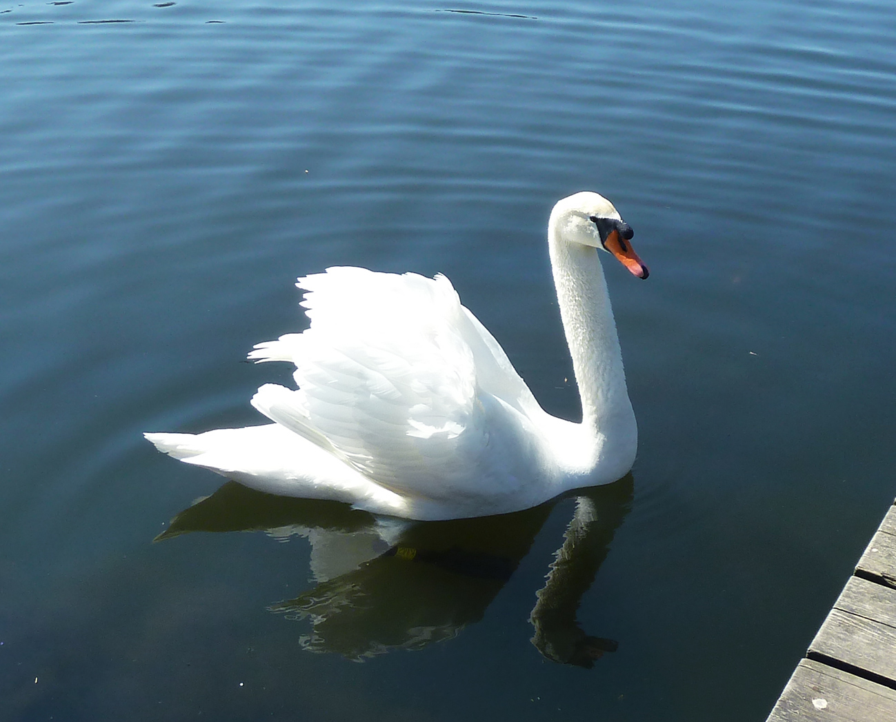 swan with shadow in the water