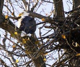 bald eagle in tree near nest
