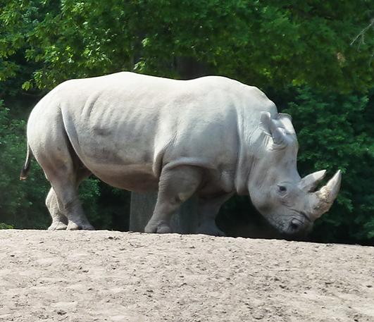 White rhinoceros standing