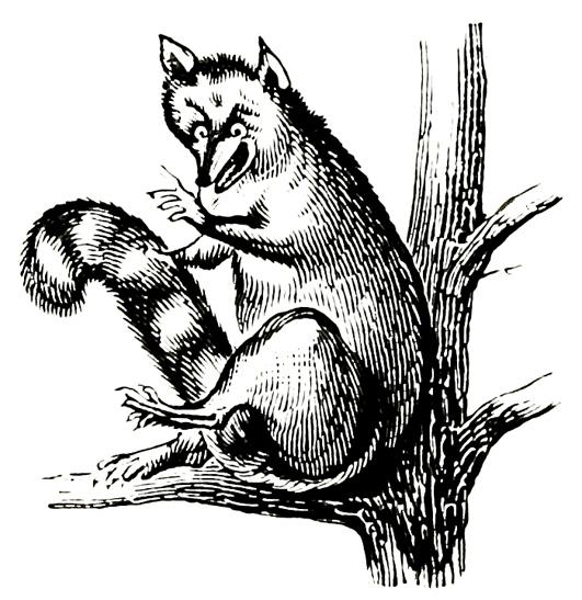 raccoon illustration old