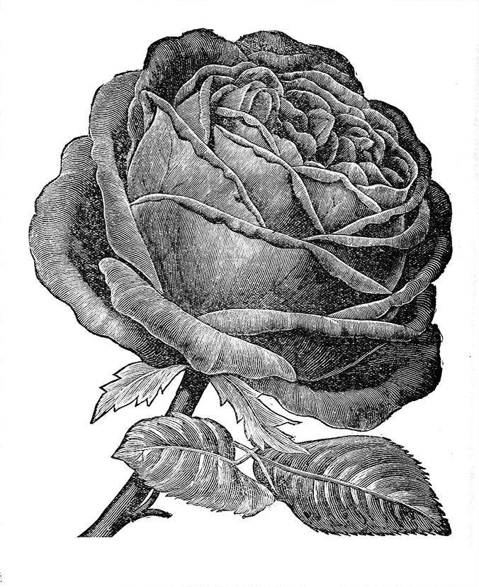 American Beauty rose drawing