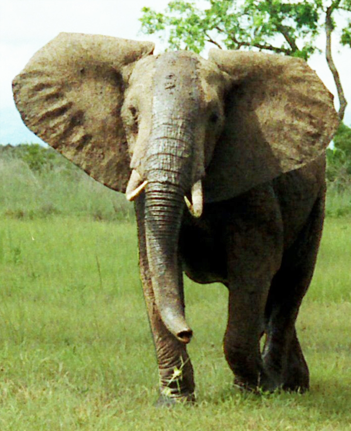 African bush elephant picture