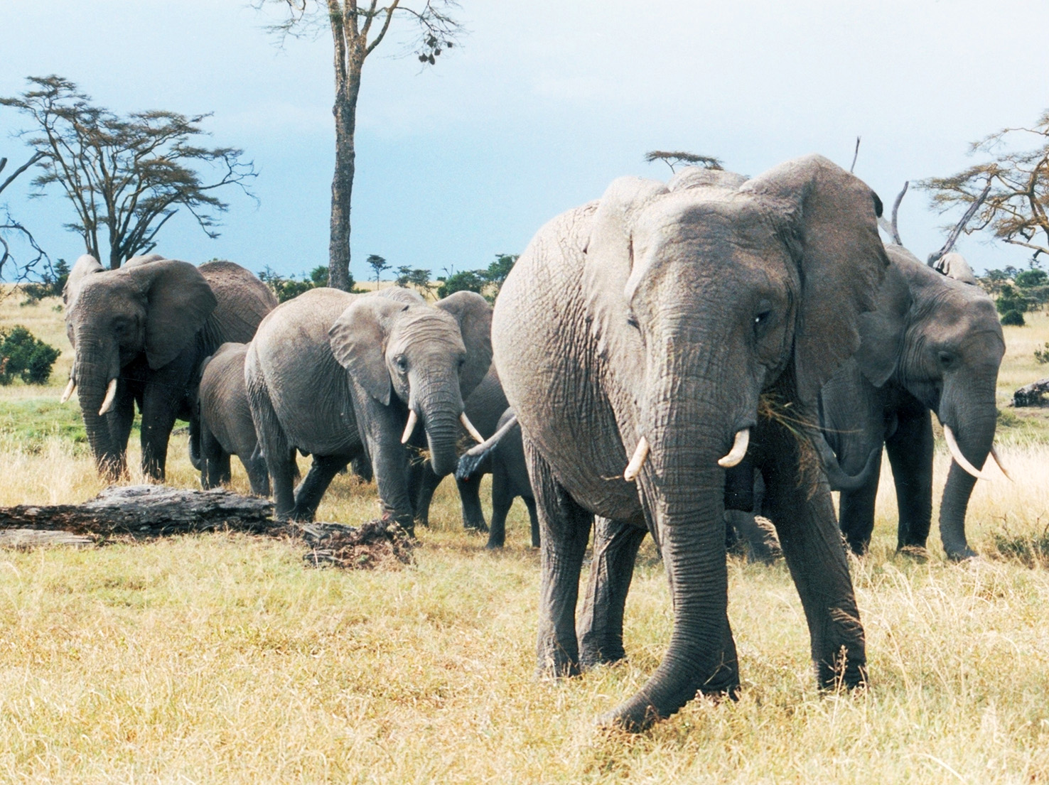 African elephant pictures from Kenya