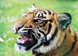close up of tiger snarling