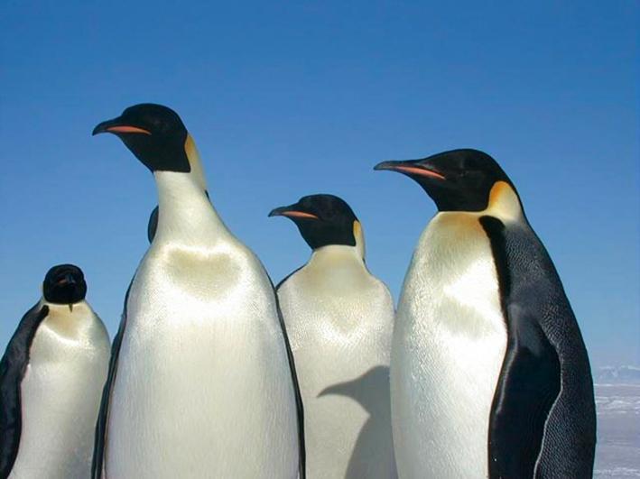 beautiful emperor penguins
