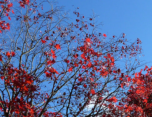 tree with red fall leaves against blue sky