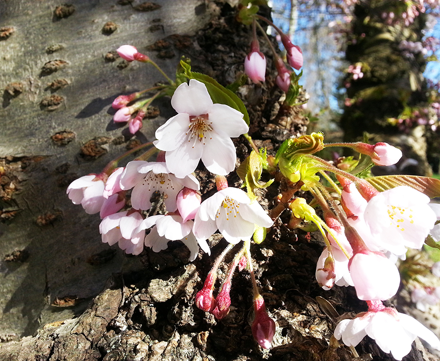 spring cherry flowers blooming