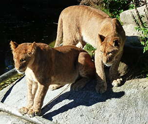 two big lion cubs near water
