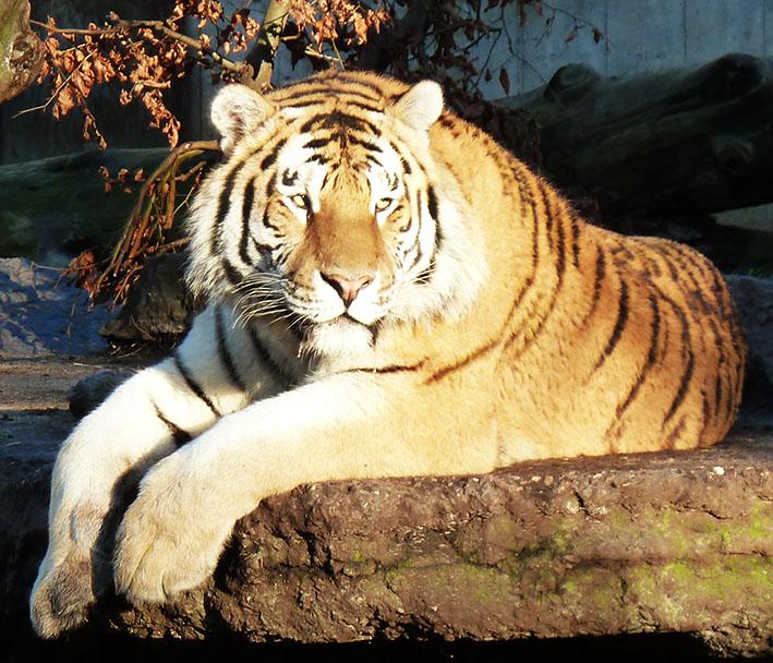 lying tiger photo