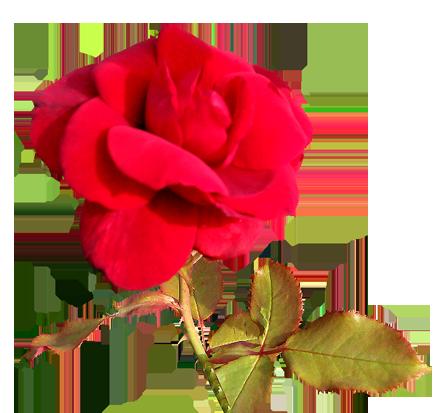 red Valentine day flower