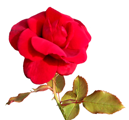 red Valentine day flower