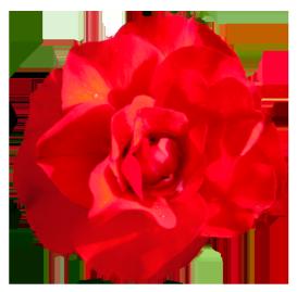 head of singel red red rose