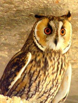 horned owl in Zoo
