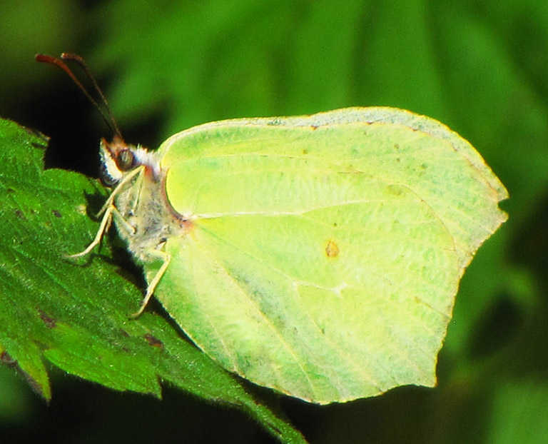 butterfly looking like a leaf