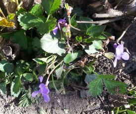 first violets in spring