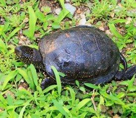 Turtle pictures black turtle