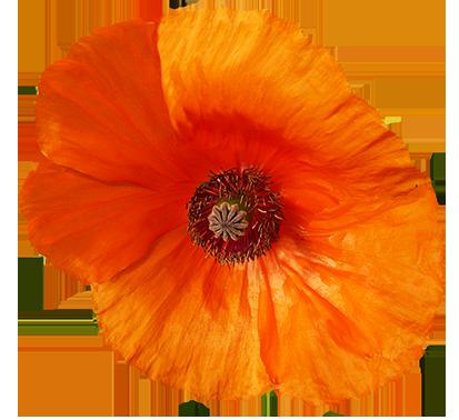red poppy flower graphics