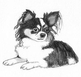 Chihuahua dog sketch