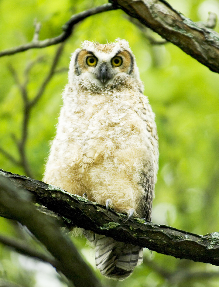 Baby owl of great horned owl