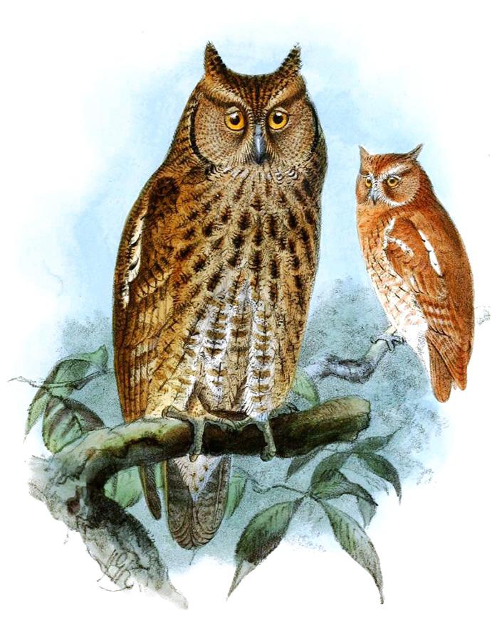 screech owl drawing