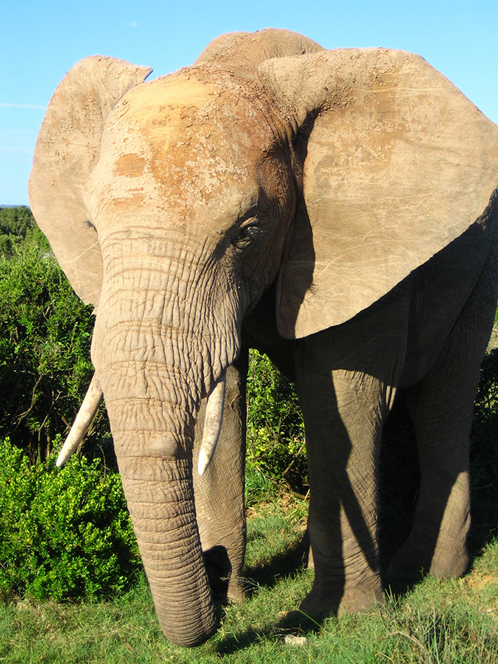Male African elephant picture