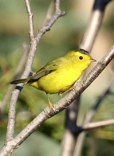 pictures of birds Wilson's Warbler