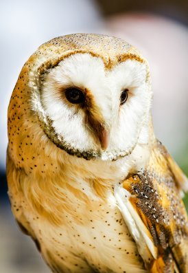 picture of barn owl