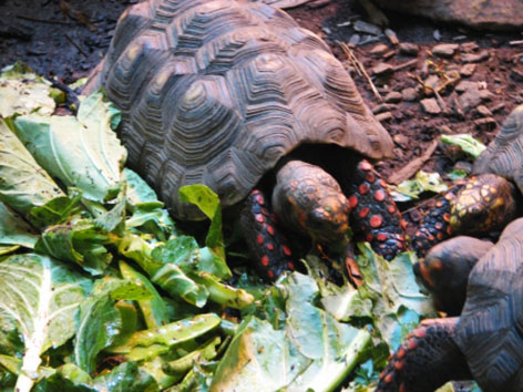 Red footed tortoise eating
