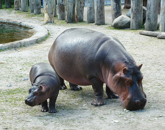 cute hippo baby and mother