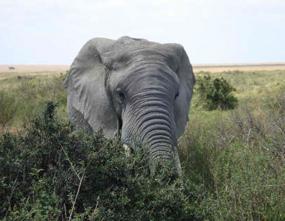 elephant pictures african elephant bush