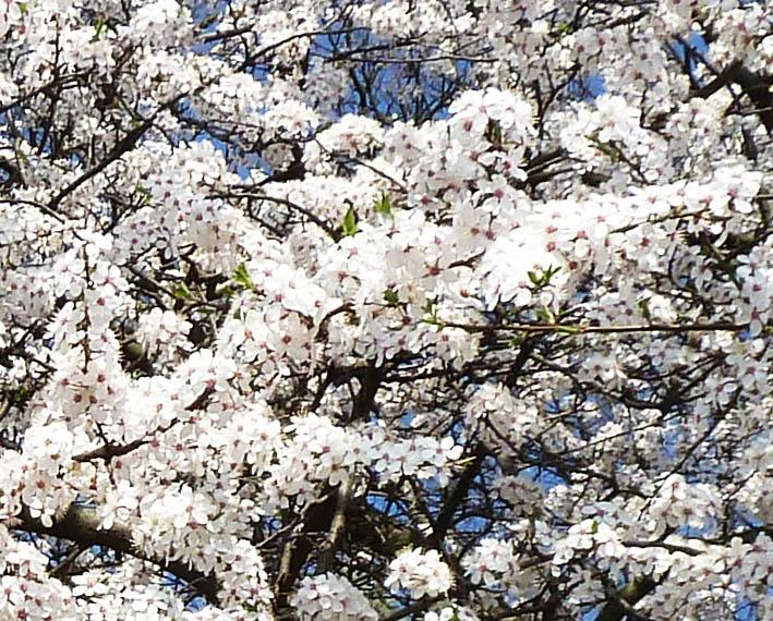 Cherry flowers in bloom