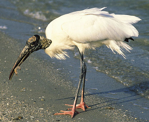 Wood stork Cabeca seca