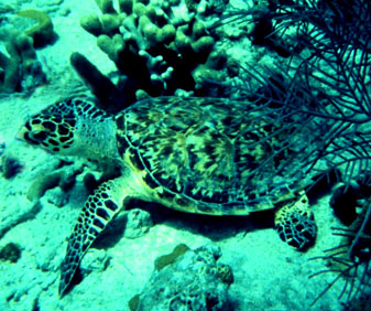 sea turtle near coral and sand