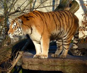 tiger pictures tiger alert