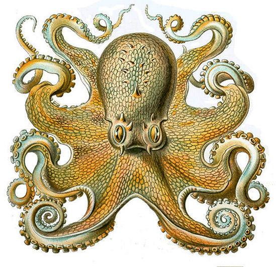 Octopus Vulgaris frontal