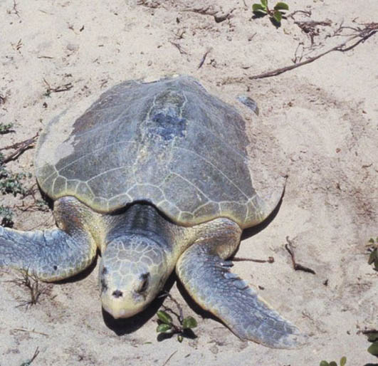 Kemps Ridley Sea turtle picture