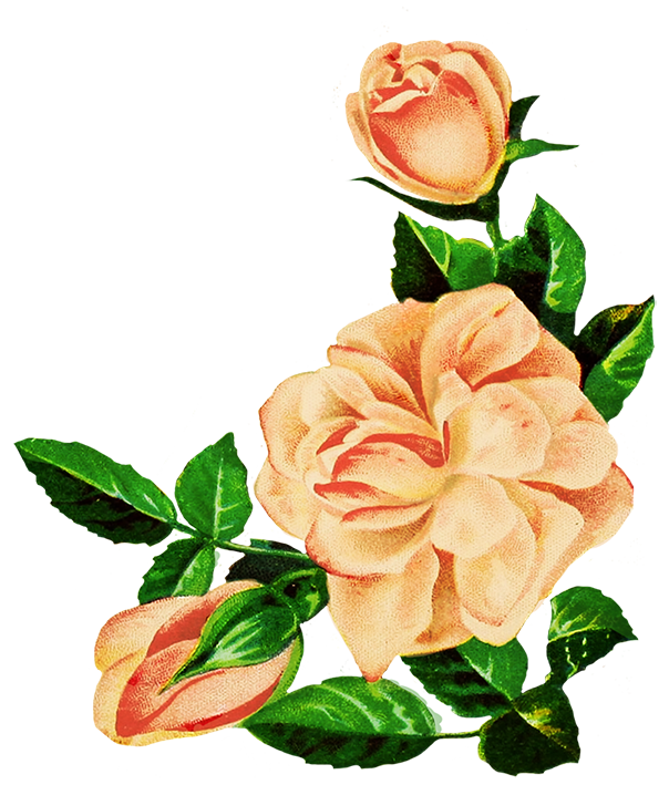 drawing of pink roses