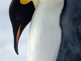 emperor penguin close up