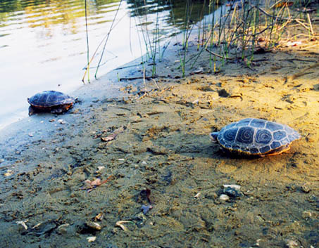 Two terrapins on beach