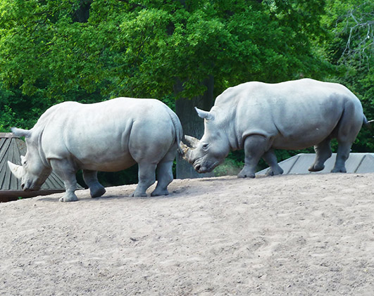 two White rhinos in zoo