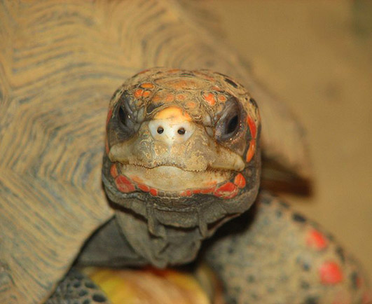 Red footed tortoise close up