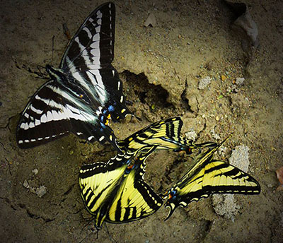 Swallowtalies blue yellow