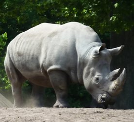 Square lipped white rhinoceros