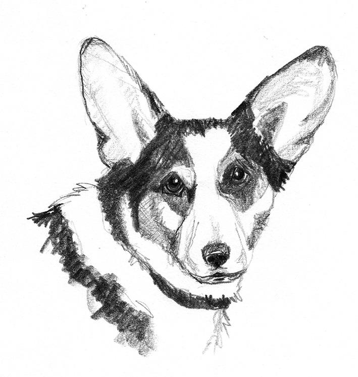 dog sketches head of corgi