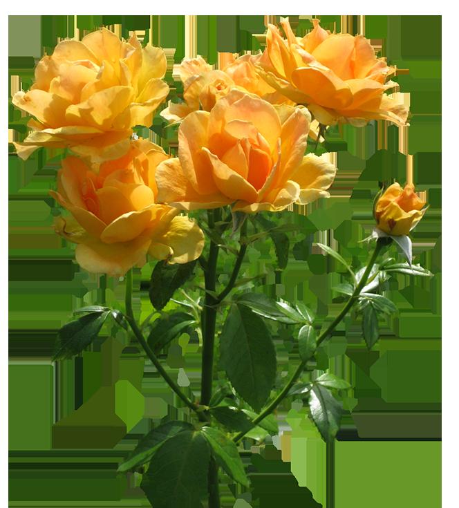 zonta rosa lots of blooming orange roses